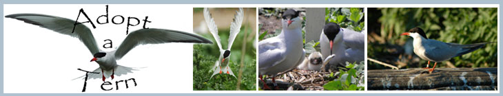 Adopt-a-tern logo and terns
