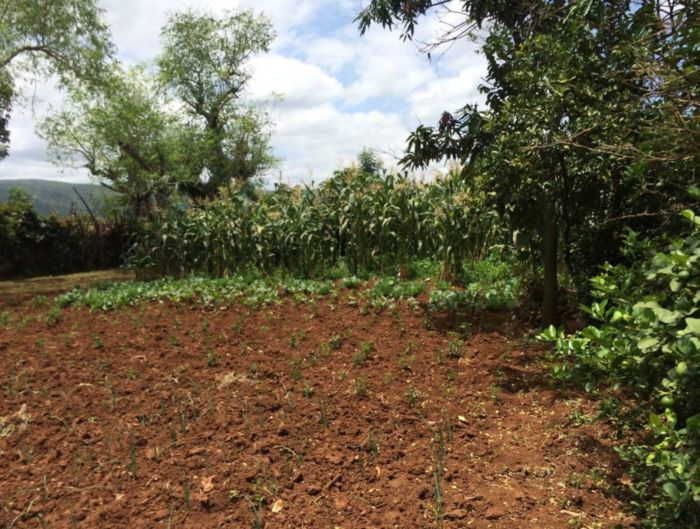 A picture of maize and onions at a small farm in Ethiopia